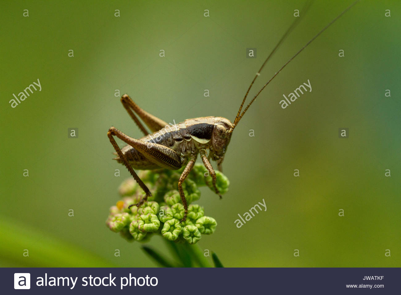 A grasshopper,Gomphocerinae,resting on a plant. - Stock Image