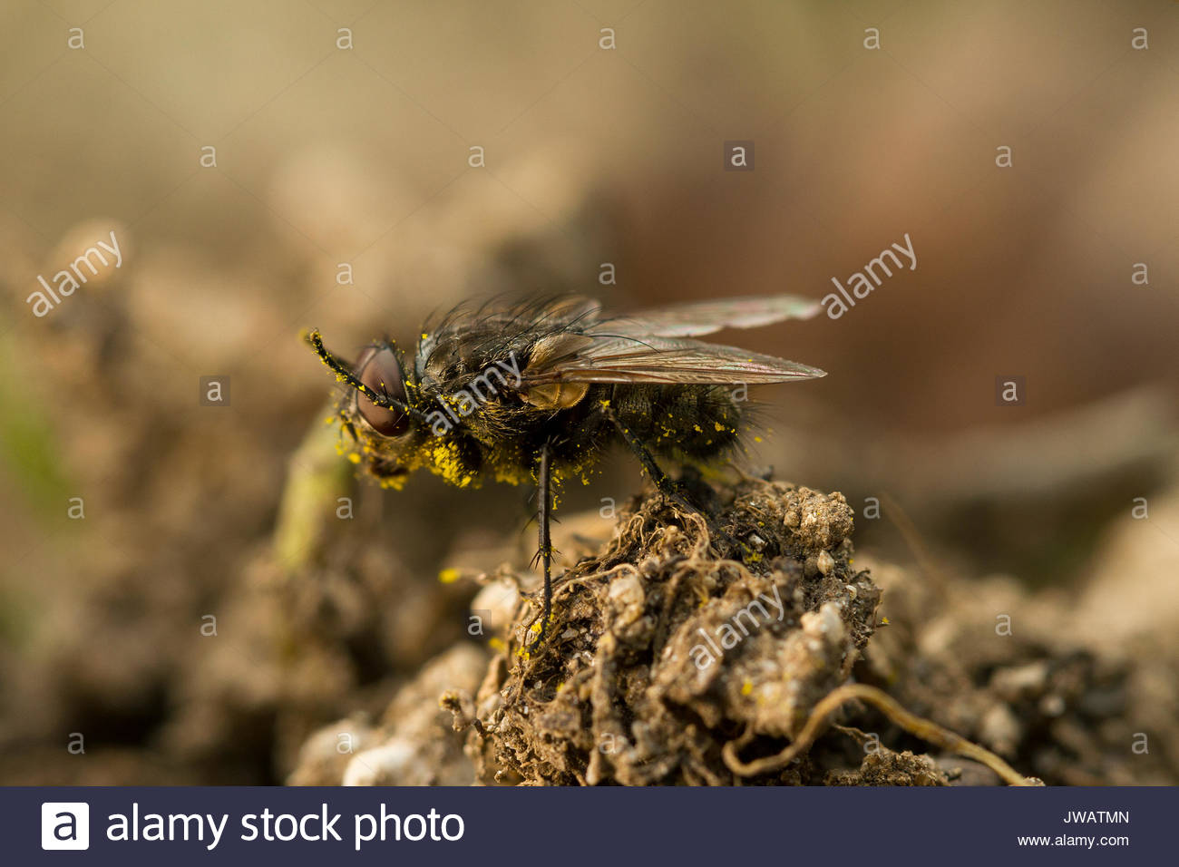 A fly cleans pollen from its body. - Stock Image