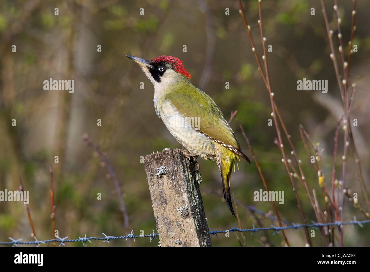 European green woodpecker (Picus viridis) female perched on old wooden fence post - Stock Image