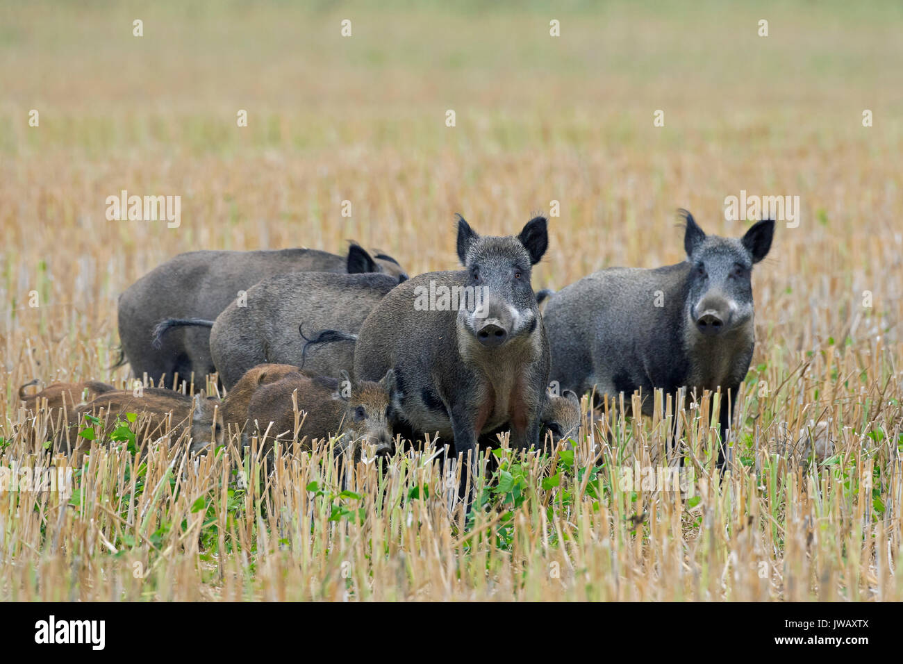 Wild boar (Sus scrofa) sows with piglets crossing a stubblefield in summer - Stock Image
