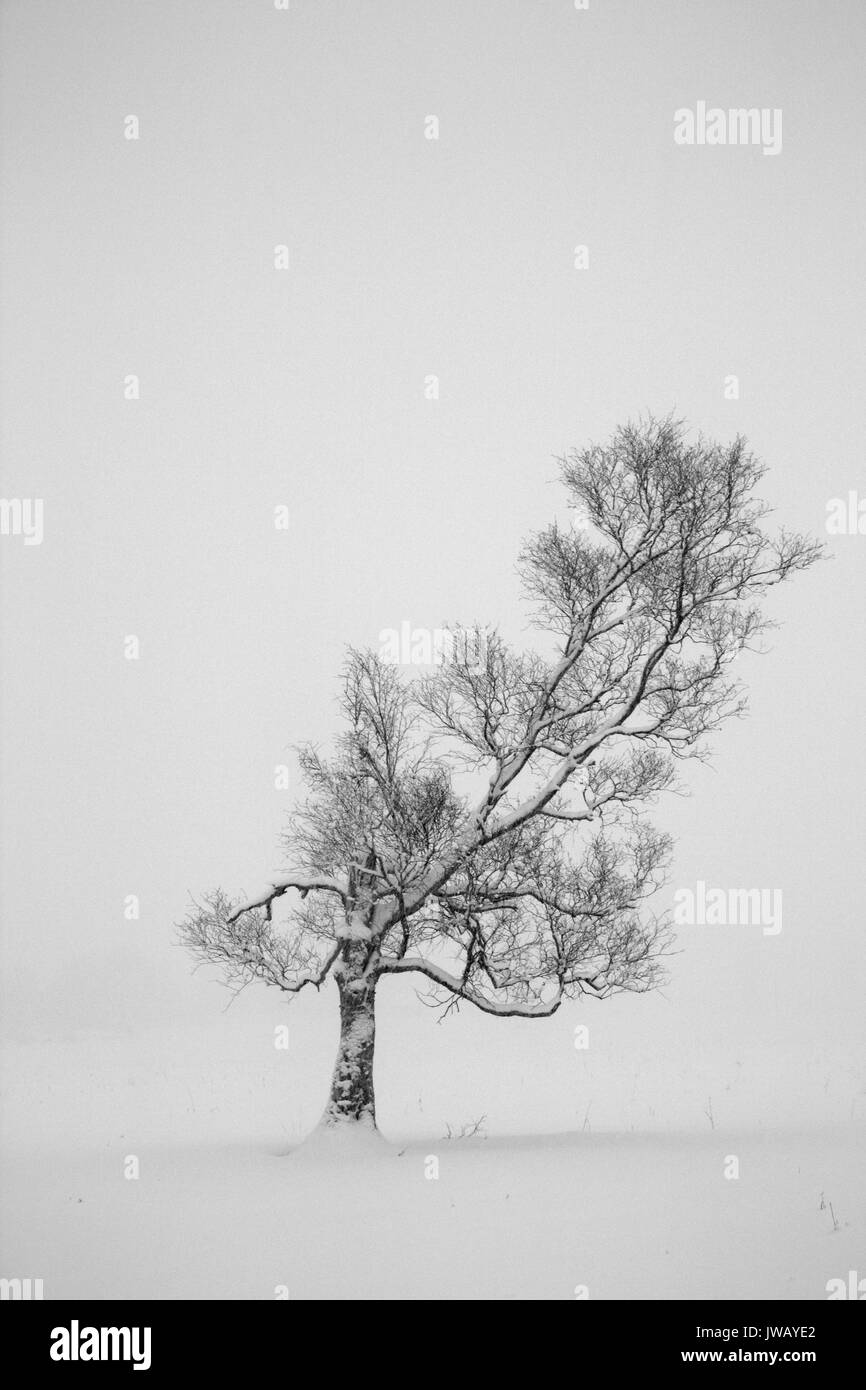 Lonely tree standing tall in a heavy snowfall - Stock Image