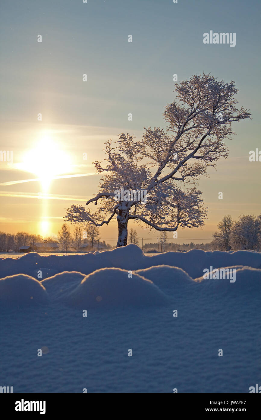 A lonely tree (Birch) standing tall in a crisp winter's morning on the background of rising sun. - Stock Image
