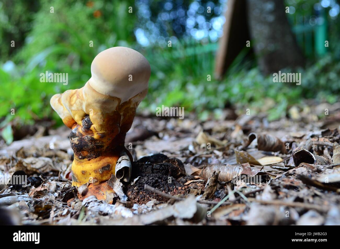 Close up of a Saprophytic fungus. Grows on decaying organic matter and breaks it down. Harmless for humans and animals. Beneficial for plant growth. - Stock Image