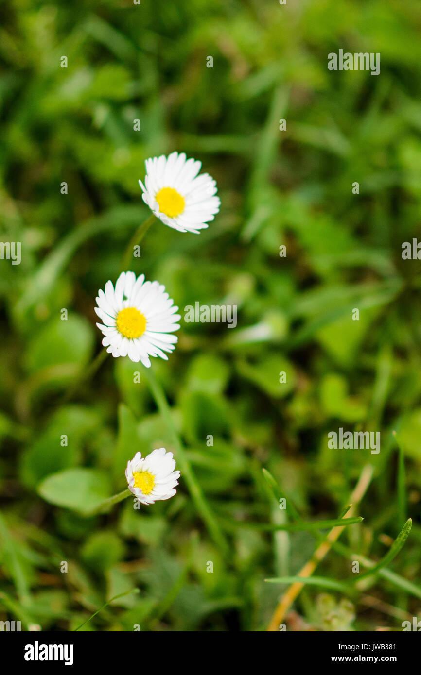 Close up of daisy flowers stock photo 153293393 alamy close up of daisy flowers izmirmasajfo