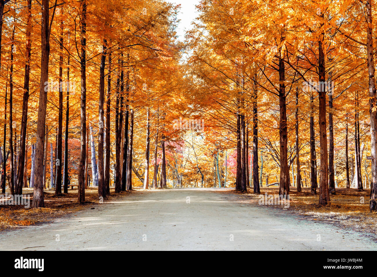 Autumn trees in Nami island, Korea. - Stock Image