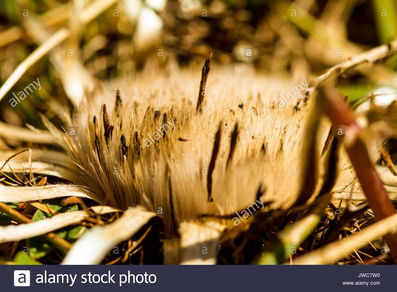 The stemless carline thistle,Carlina acaulis,whose rhizome contains the antibacterial carina oxide. - Stock Image