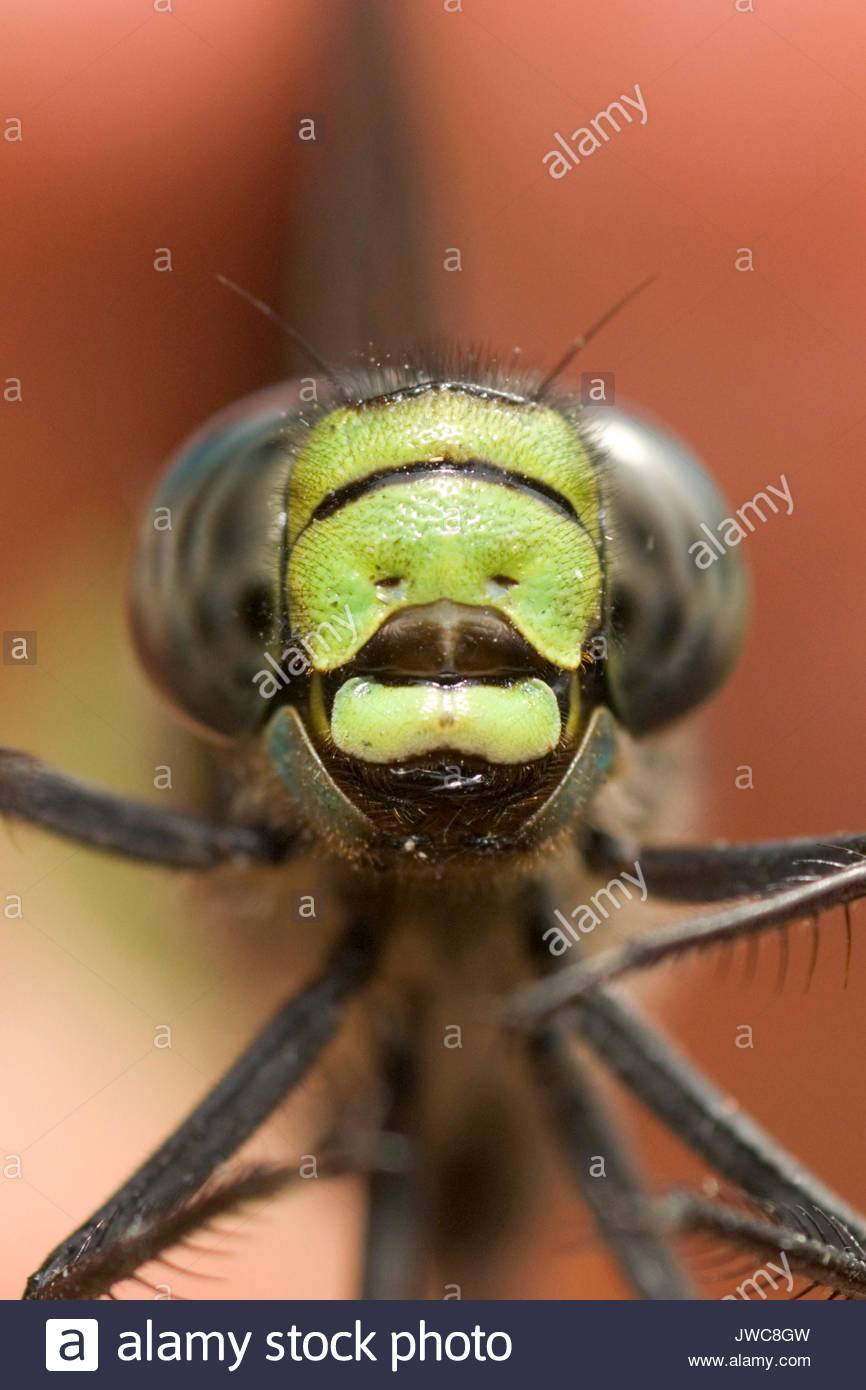 A close-up of a dragonfly. - Stock Image