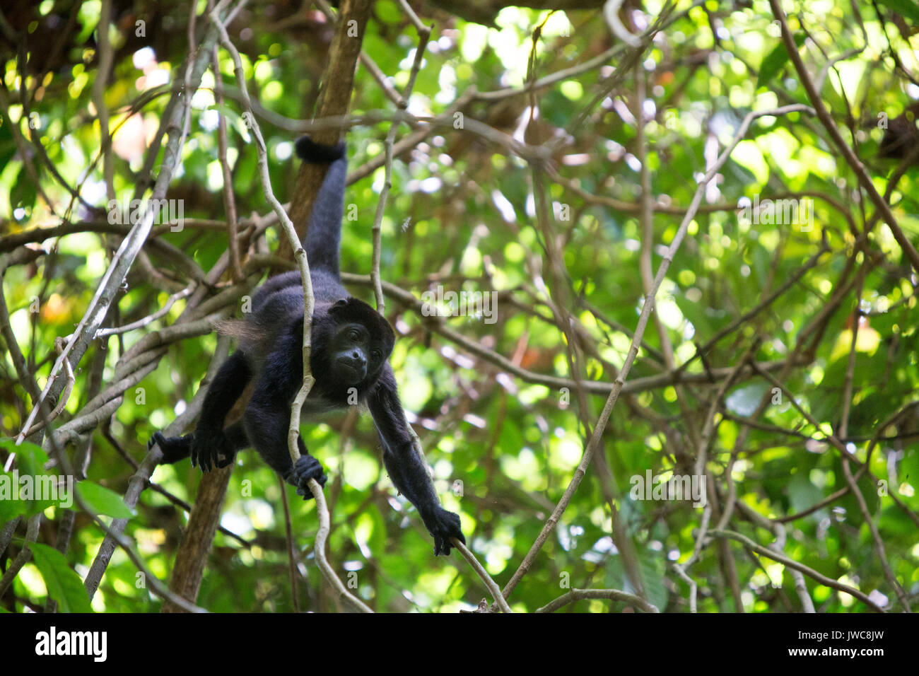A howler monkey uses its tail to grip a tree branch as it crawls through a tree canopy. - Stock Image