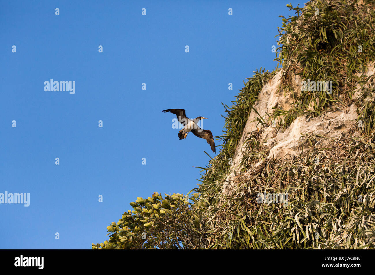 An adult brown boobie flies near a steep cliffside of Bona Island in the Gulf of Panama. - Stock Image