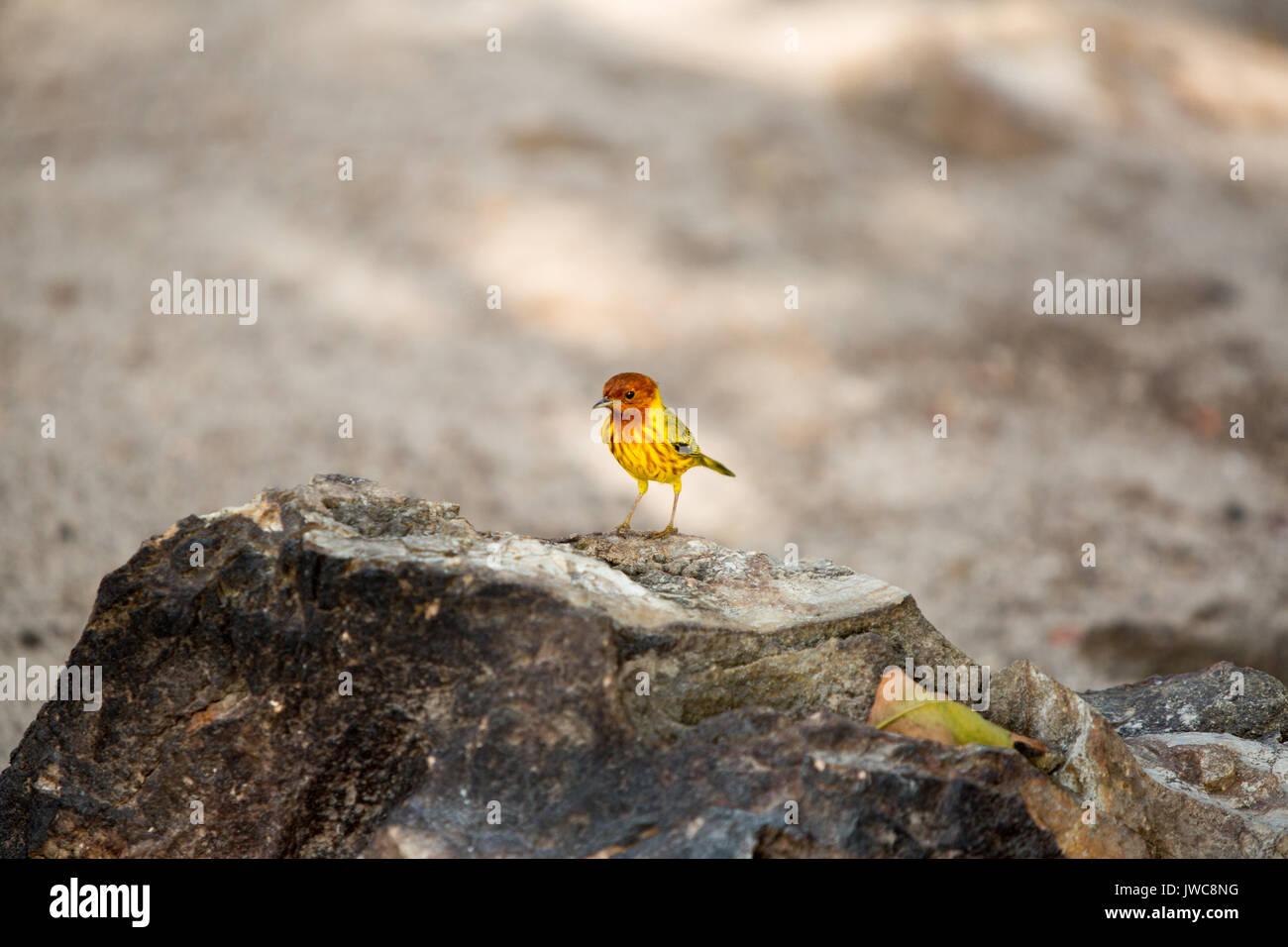 On Iguana Island,Isla Iguana,a mangrove warbler is perched atop a rock. - Stock Image