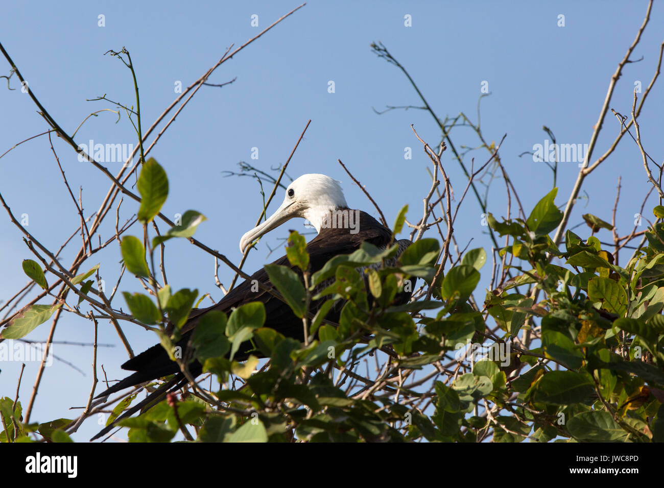 An immature male frigate bird roosts atop tree branches. - Stock Image