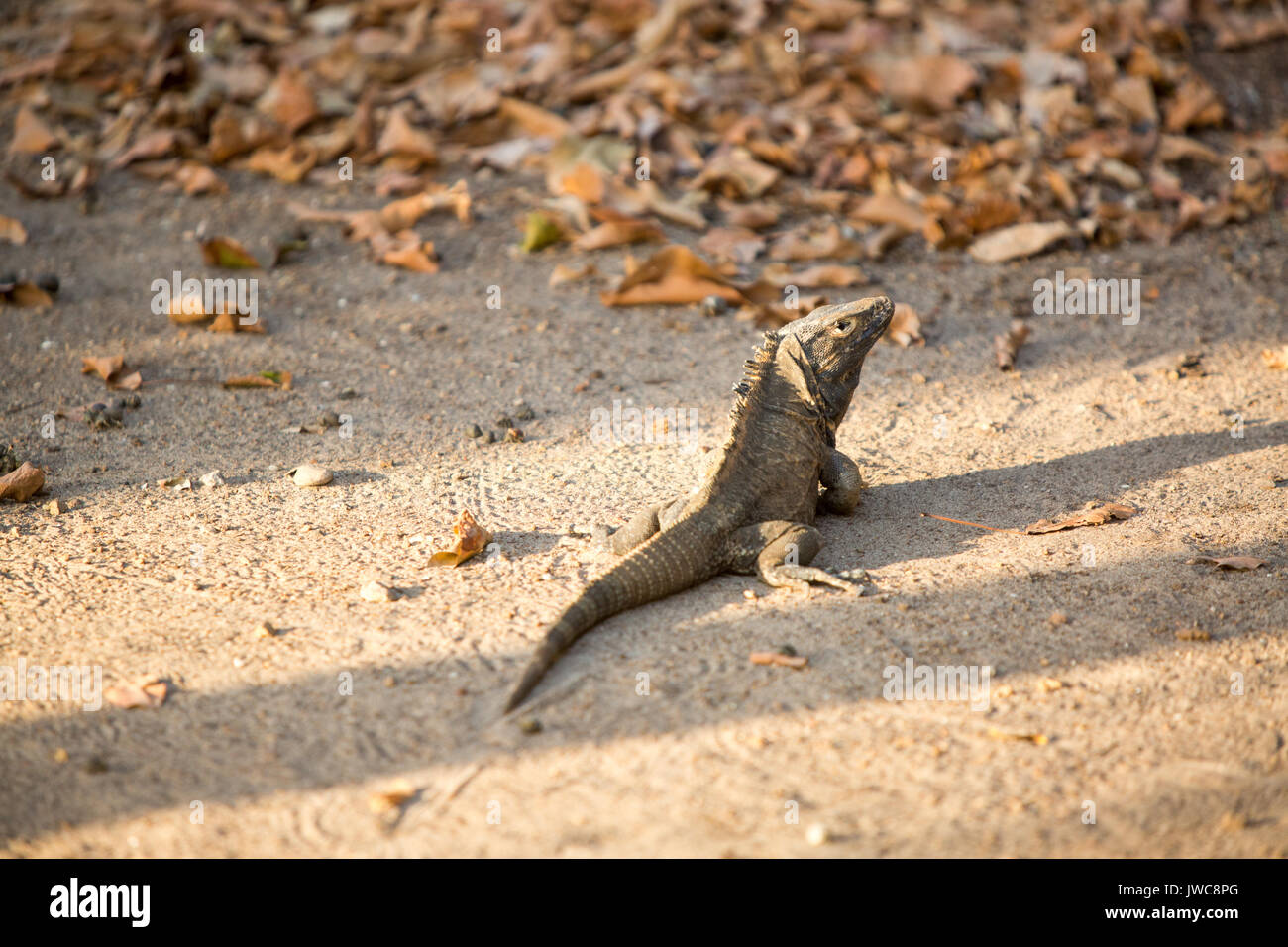 A black spiny-tail lizard walks along the sand on Iguana Island. - Stock Image