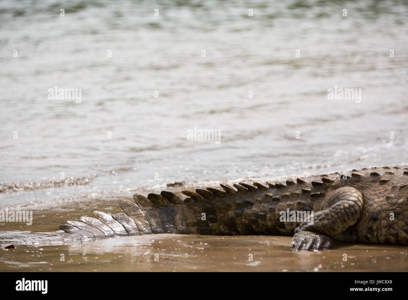 In Isla Coiba National Park,the details of an american crocodile's tough,scaly skin and tail are visible resting Stock Photo
