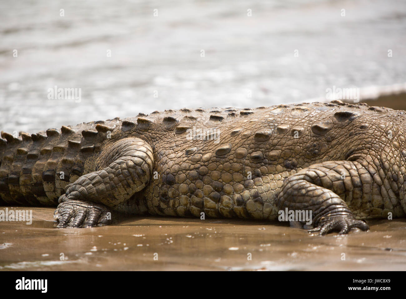 In Isla Coiba National Park,the details of an american crocodile's tough,scaly skin is visible resting in the water. - Stock Image