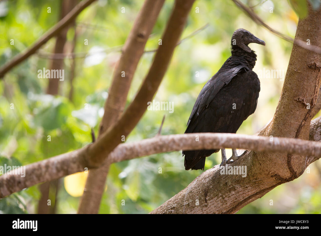 In Isla Coiba National Park,a black vulture sits perched on a tree limb. - Stock Image