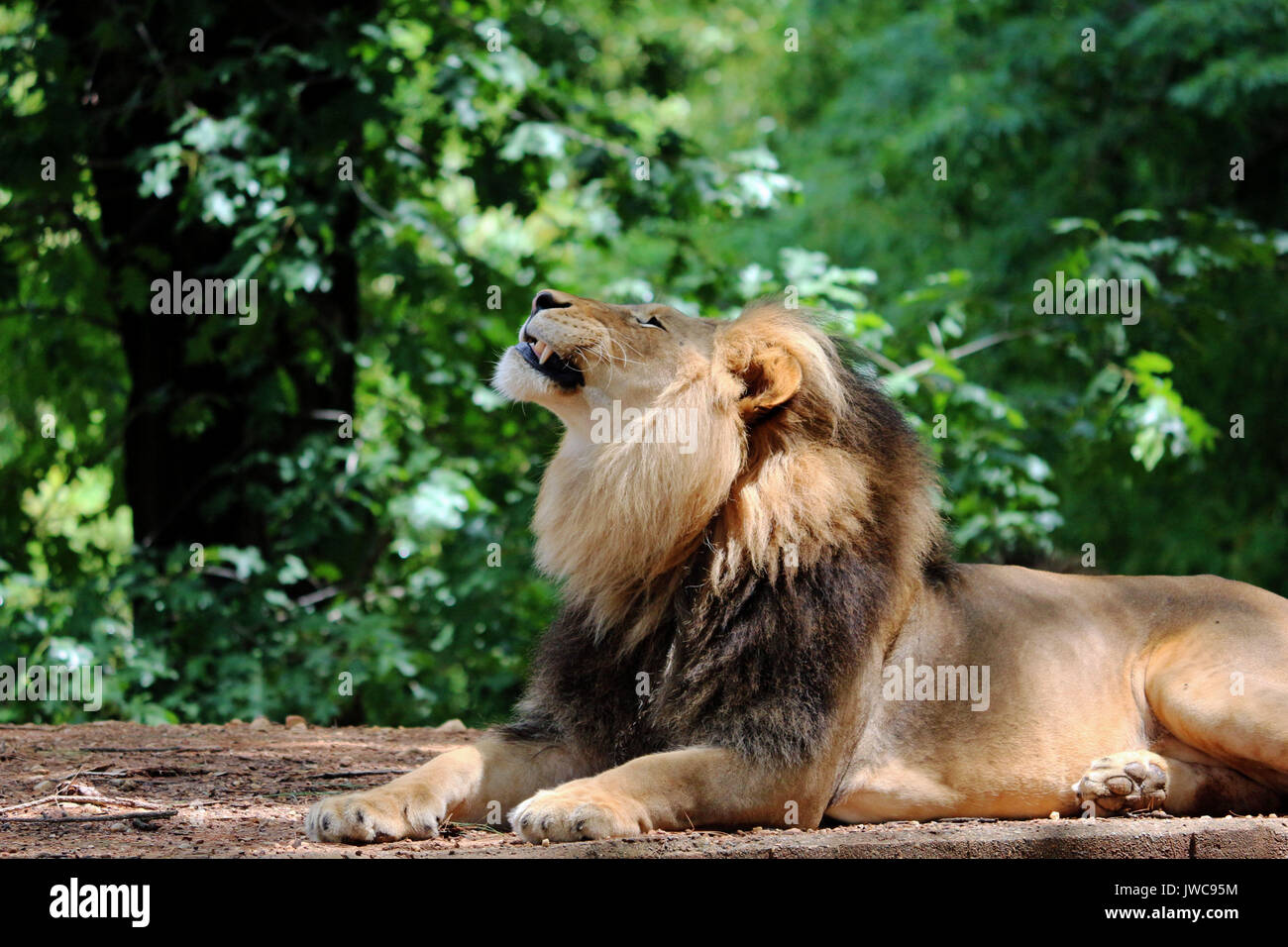 A Lion Relaxing in his Habitat with A Leafy Green Background. - Stock Image