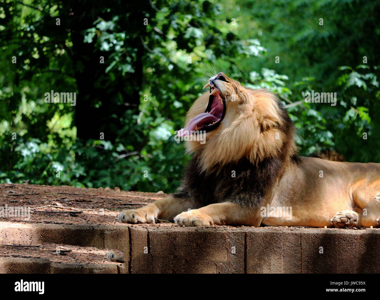 A Lion Yawning Relaxing in his Habitat with A Leafy Green Background. - Stock Image