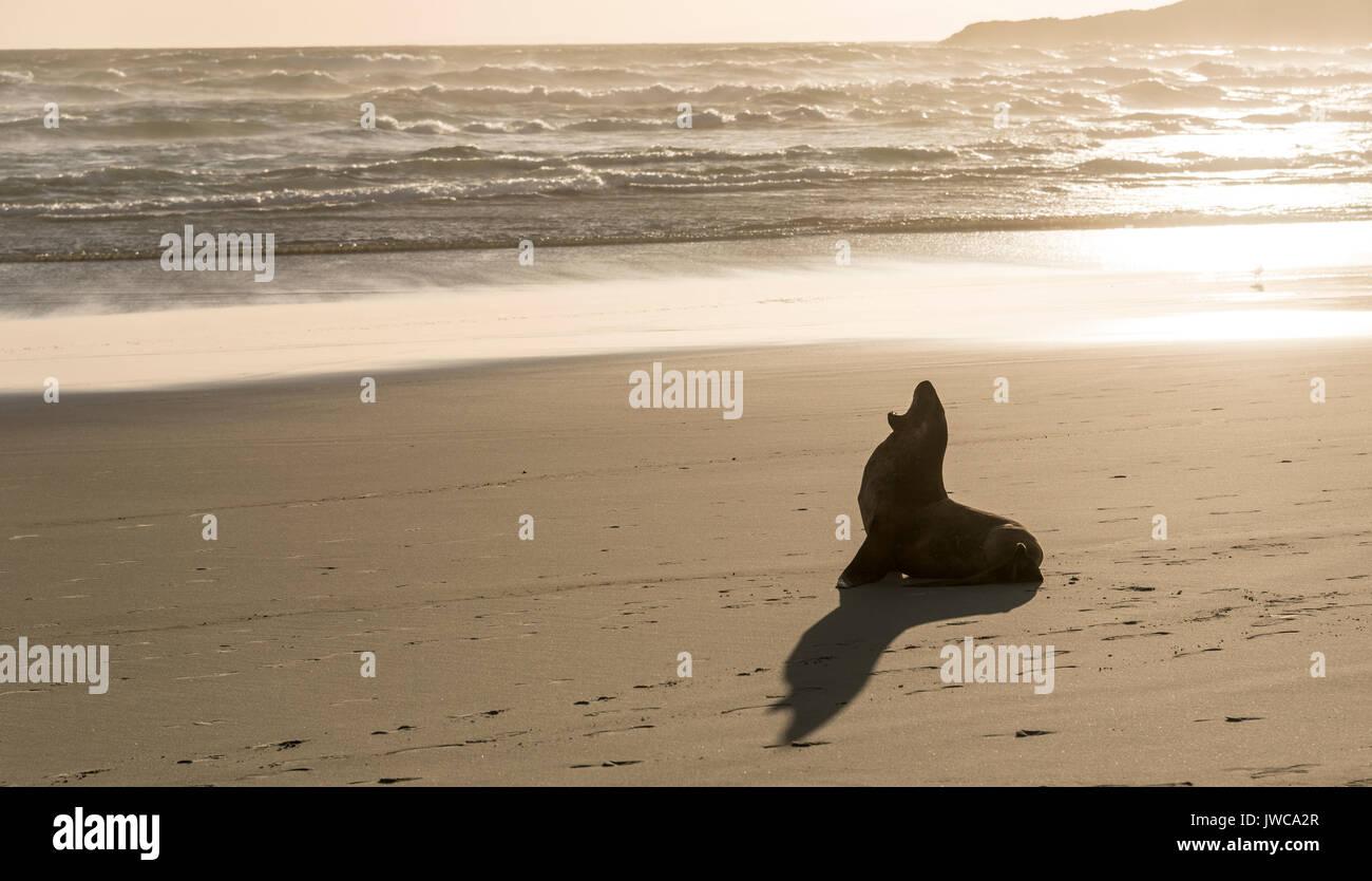 New Zealand Sea Lion (Phocarctos hookeri) yawning at sandy beach, Sandfly Bay, Dunedin, Otago Peninsula, South Island - Stock Image