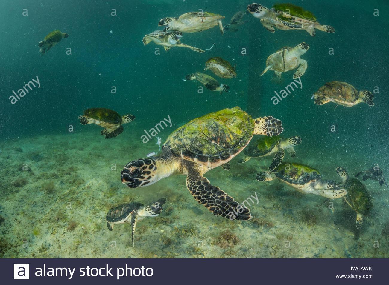 Rescued sea turtles at the Dubai Turtle Rehabilitation Project based at Burj Al Arab. - Stock Image