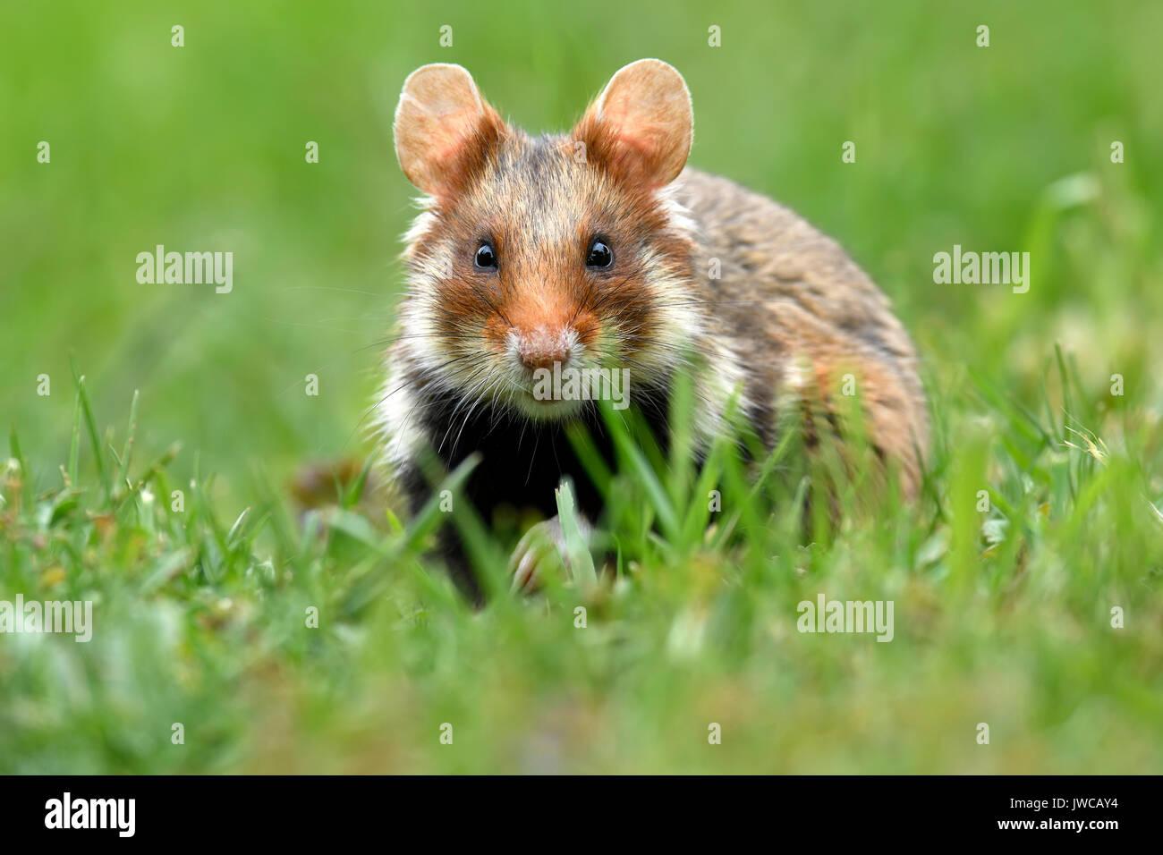 FEuropean hamster (Cricetus cricetus), standing in meadow, Austria - Stock Image