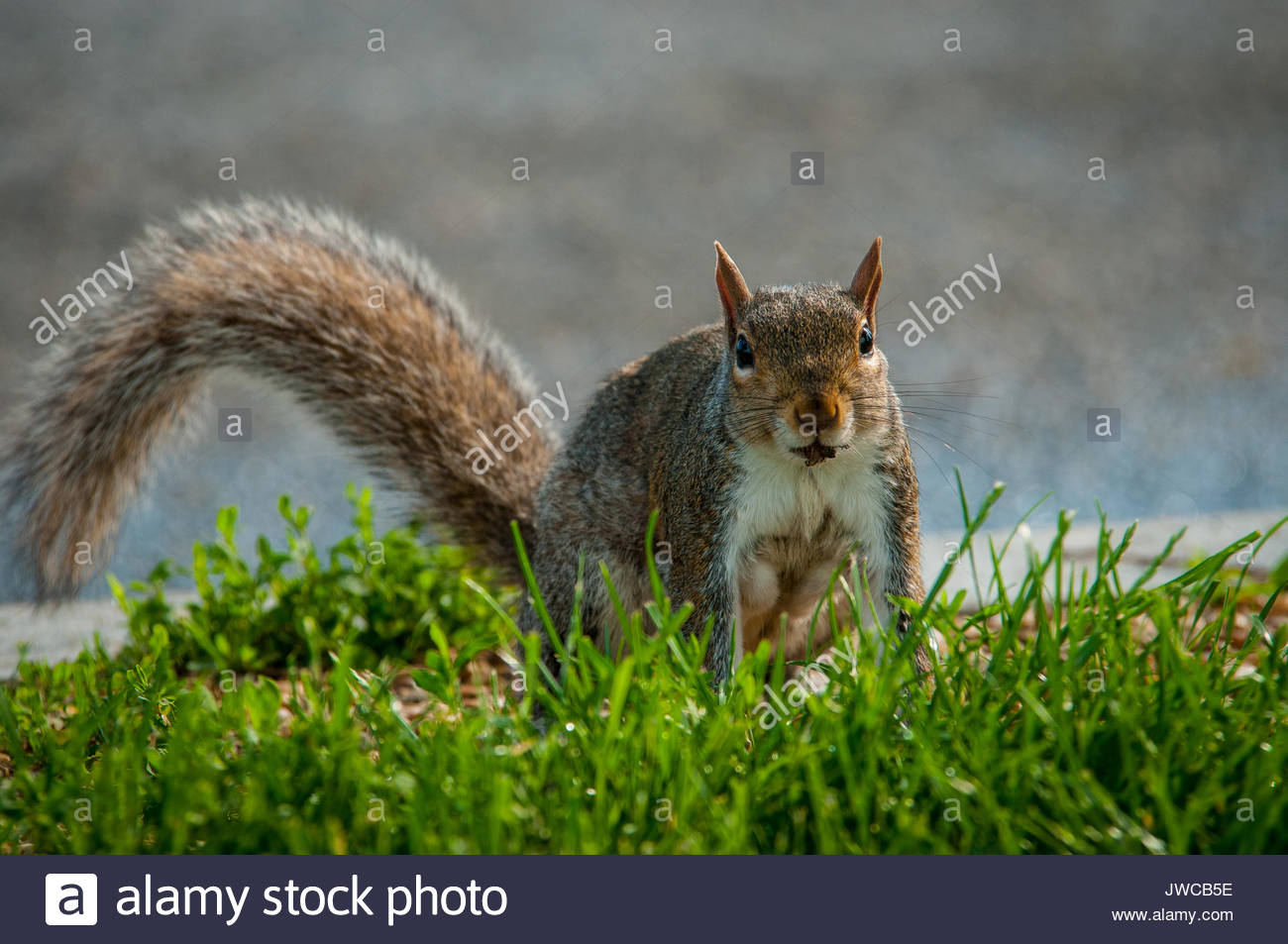 Portrait of an Eastern grey squirrel. - Stock Image
