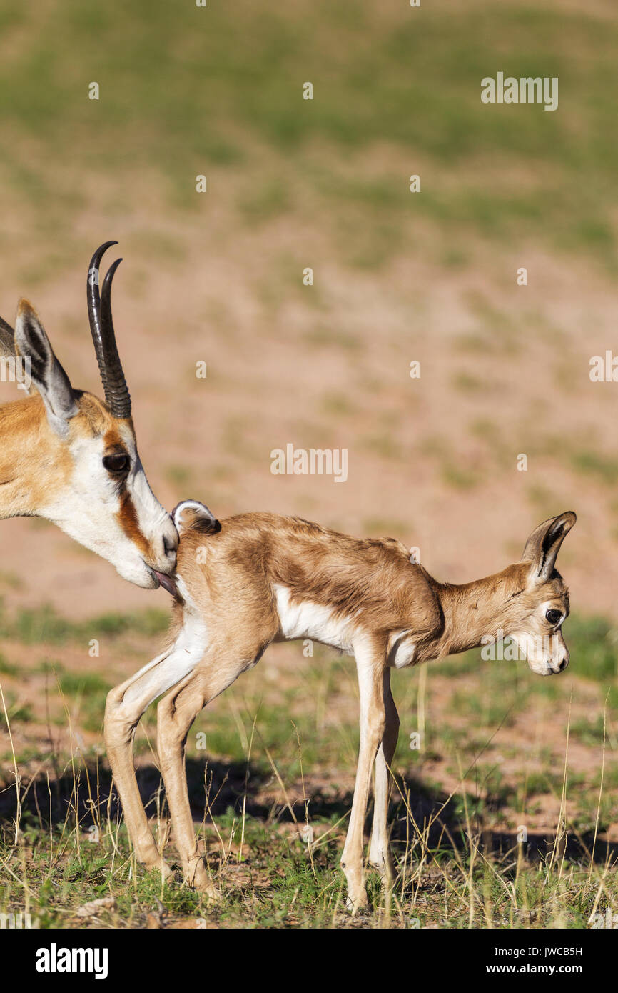 Springboks (Antidorcas marsupialis), ewe cleans newborn lamb, during the rainy season in green surroundings, Kalahari Desert - Stock Image