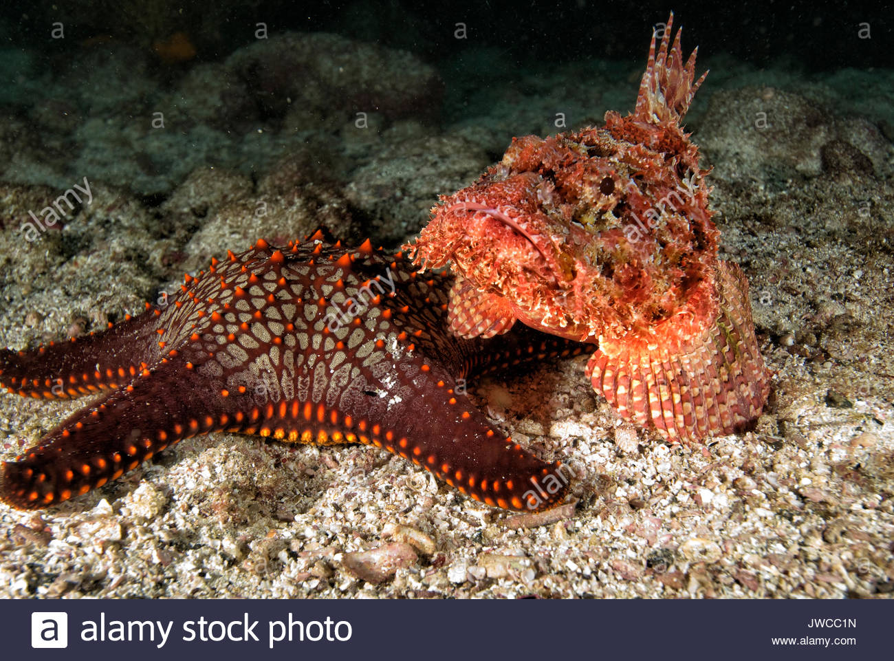 A rockfish with a star fish. - Stock Image