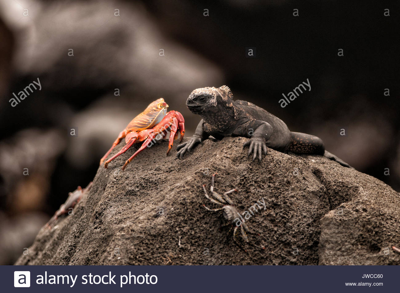 A marine iguana face to face with a red rock crab,or Sally lightfoot crab,Grapsus grapsus - Stock Image