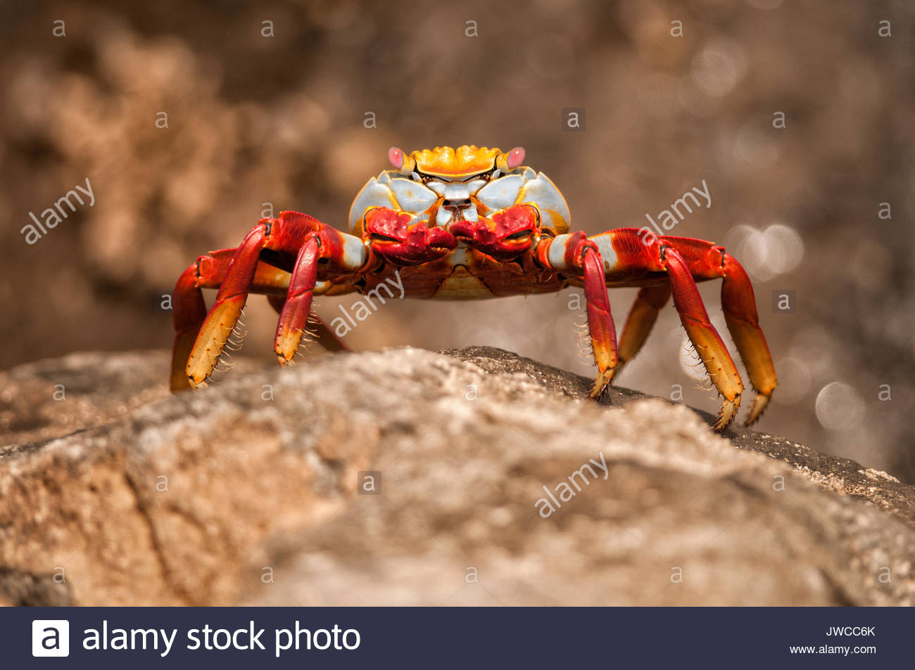 A red rock crab or Sally lightfoot crab,Grapsus grapsus. - Stock Image