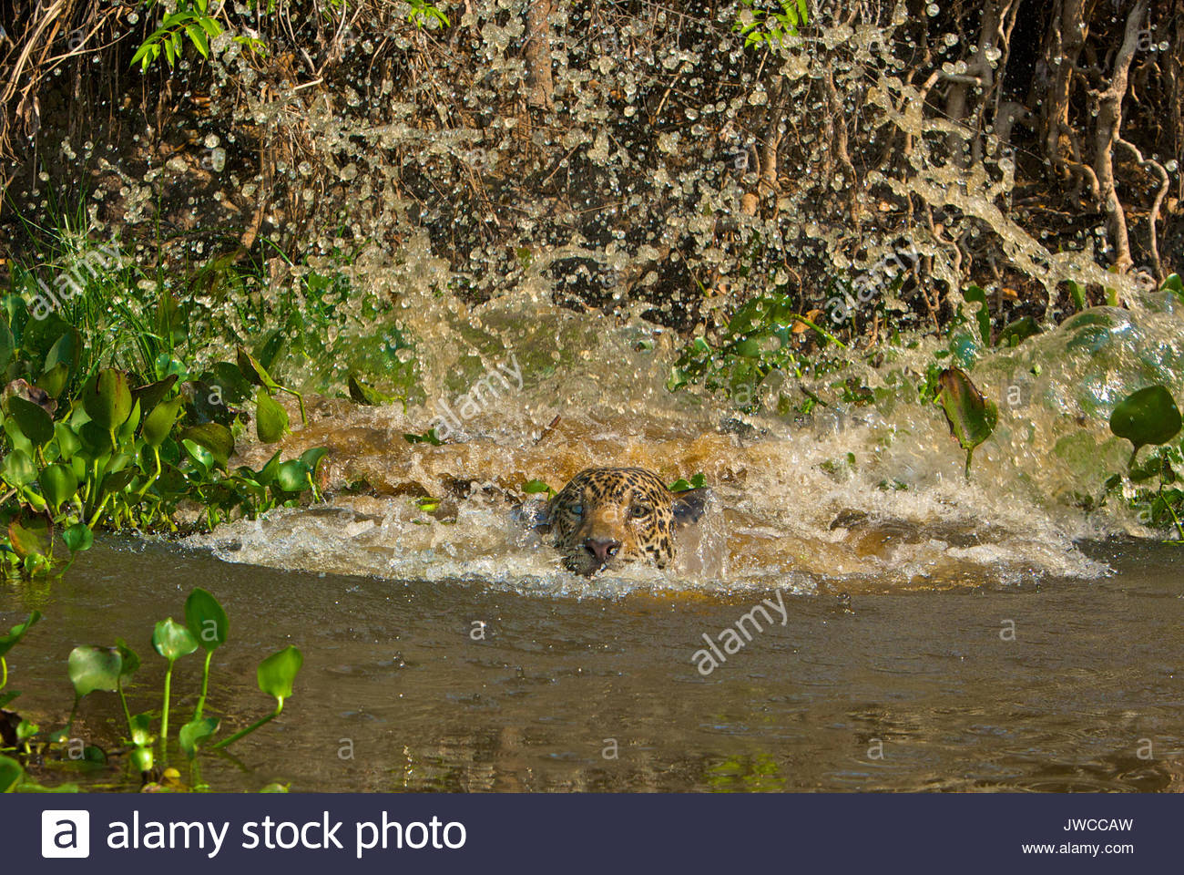 A jaguar leaps into Cuiaba River in the Brazilian Pantanal. Unlike most other cats,jaguars will chase their prey into the water,or fish for dinner. - Stock Image