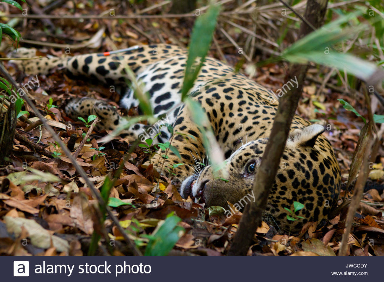 A sedated jaguar after being shot with the tranquilizer in his back haunch. The researchers who sedated him will measure his vitals and fit him with a GPS radio collar to track his movements. - Stock Image