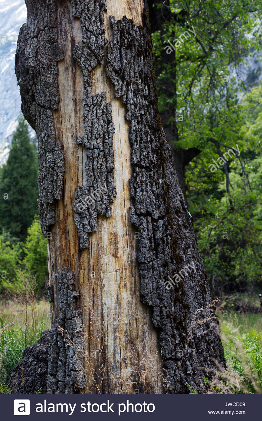 An old black oak tree with crumbling bark stock photo 153322969 alamy