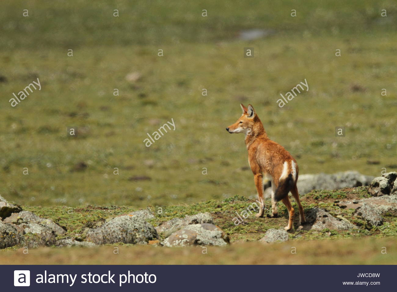 An alert Ethiopian wolf,Canis simensis,stands in Bale Mountains National Park. - Stock Image