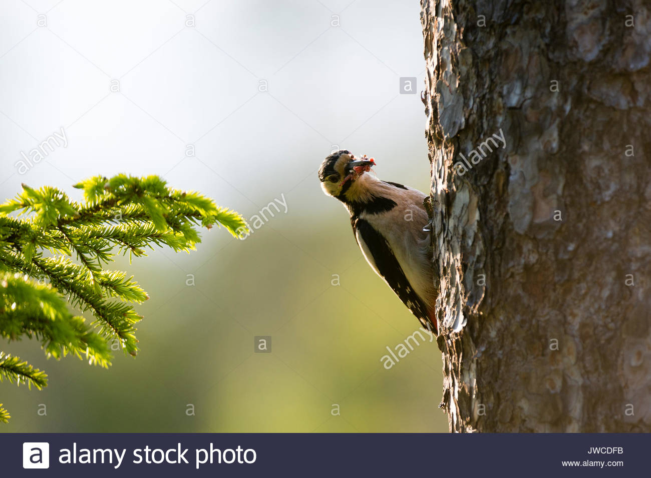 A great spotted woodpecker,Dendrocopos major,on a pine tree trunk. - Stock Image
