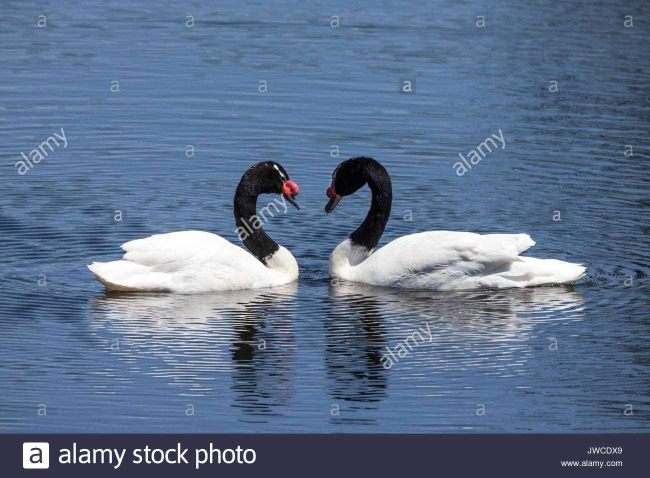 Two black-necked swans,Cygnus melancoryphus,meet face to face. - Stock Image