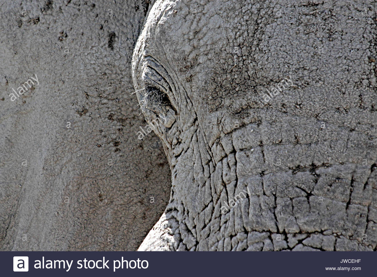 A mud covered African elephant. - Stock Image