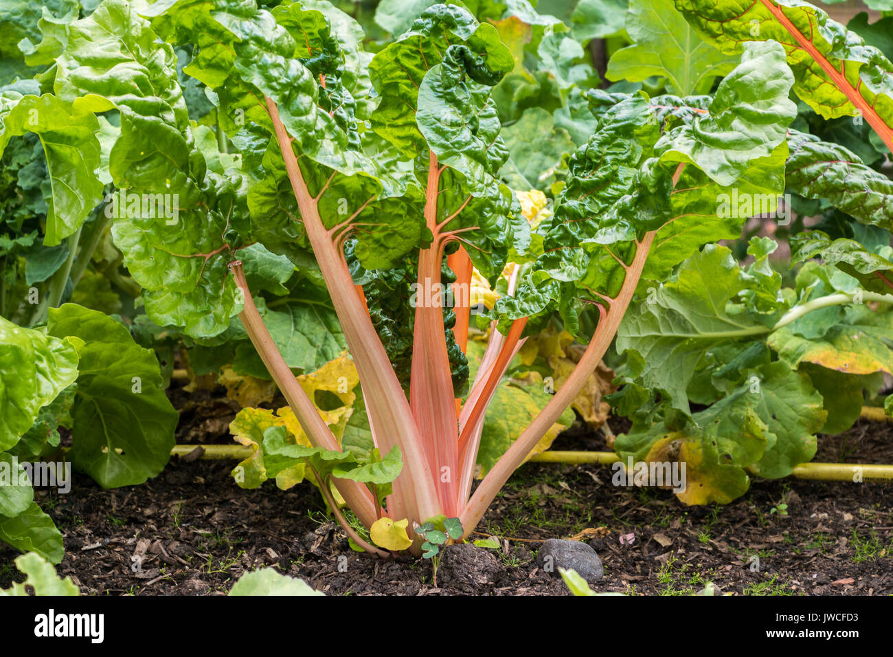 Rainbow Chard Plants Growing In The Ground Stock Photo Alamy