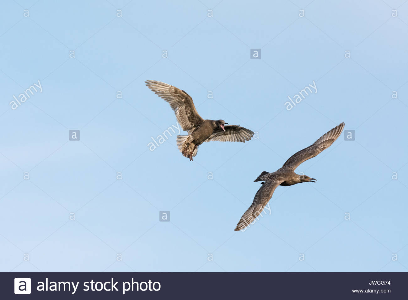 A pair of squawking Juvenile Black-billed gulls in flight. - Stock Image