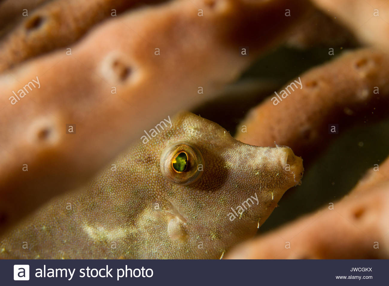 Filefish among sponges. - Stock Image