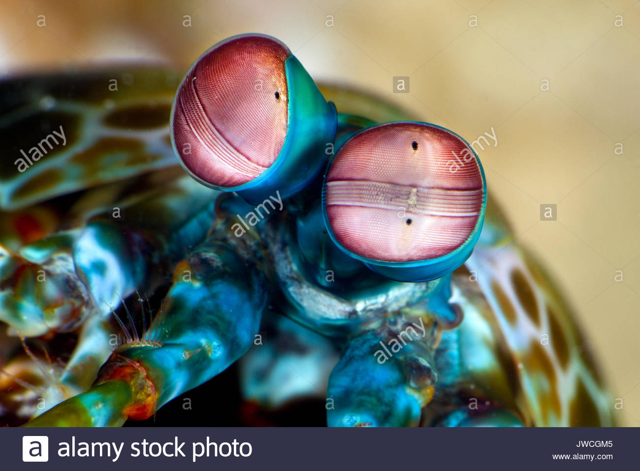 The eyes of a peacock mantis shrimp, their vision is some of the most complex known to science. - Stock Image