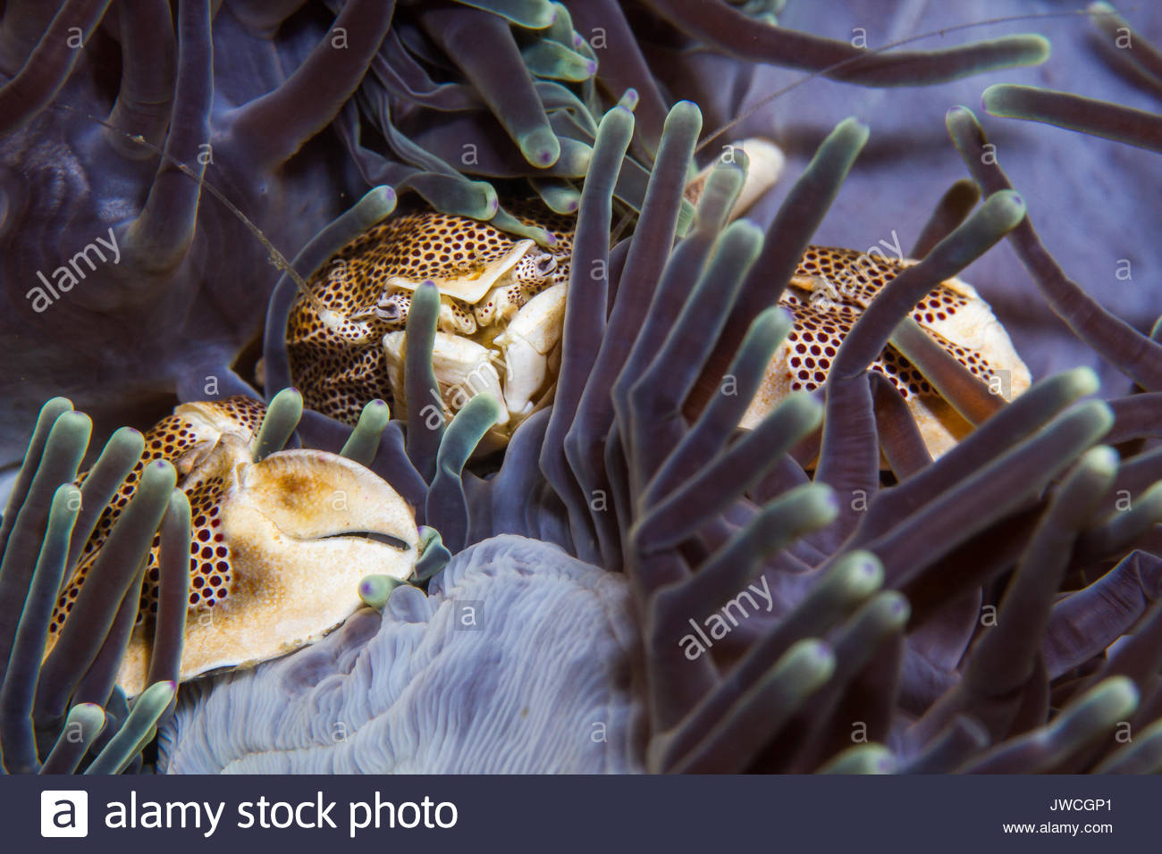 Porcelain crab in anemone. - Stock Image