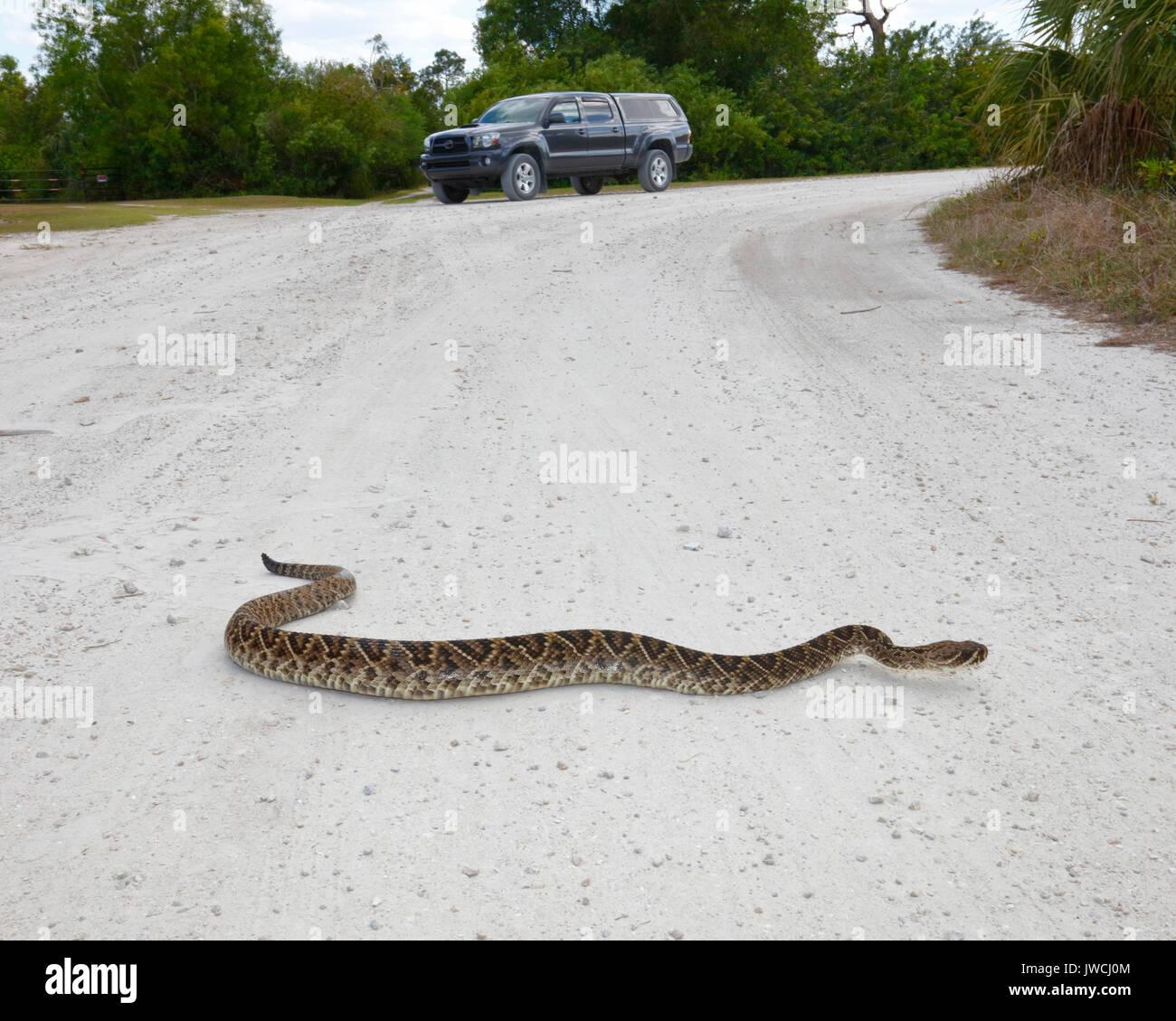 A long eastern diamondback rattlesnake, Crotalus adamanteus, is crossing a sand road. Stock Photo