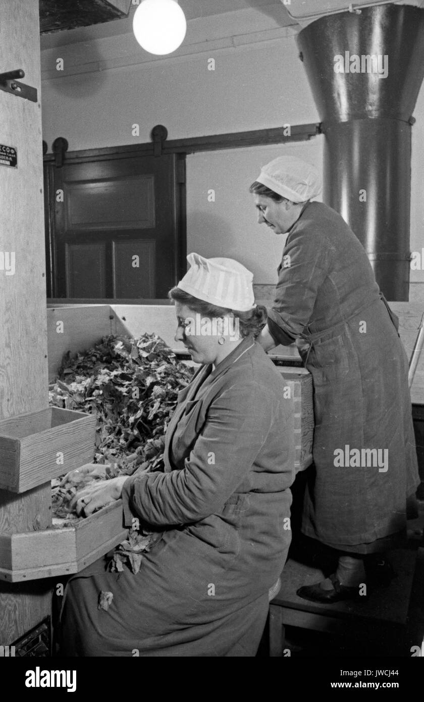 Two women sorting dried tobacco leaves in cigarette factory. - Stock Image