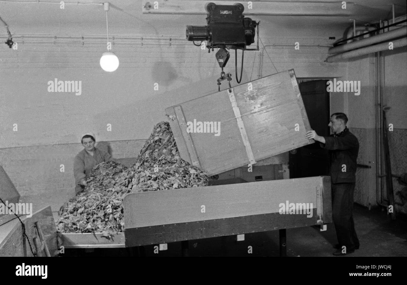 Man pouring dried tobacco leaves out of container in cigarette factory. - Stock Image