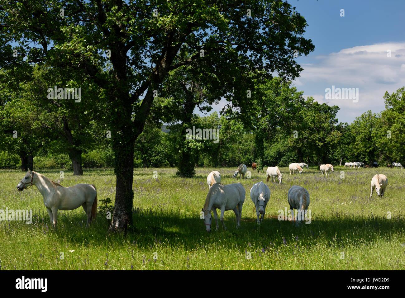 Herd of white Lipizzaner horses grazing in a grassy meadow at the Lipica Stud Farm at Lipica Sezana Slovenia - Stock Image