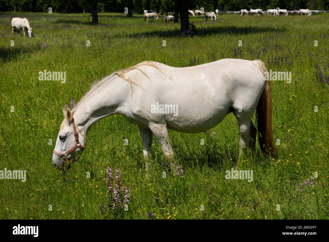 Close up of a white Lipizzaner horses with herd grazing in a meadow with grass and flowers at the Lipica Stud Farm at Lipica Sezana Slovenia - Stock Image