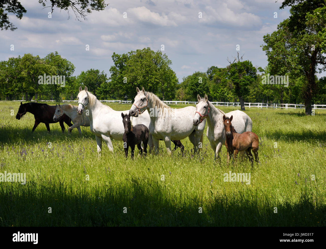 White Lipizzaner mares horse breed with dark foals grazing in a meadow with grass and flowers at the Lipica Stud Stock Photo