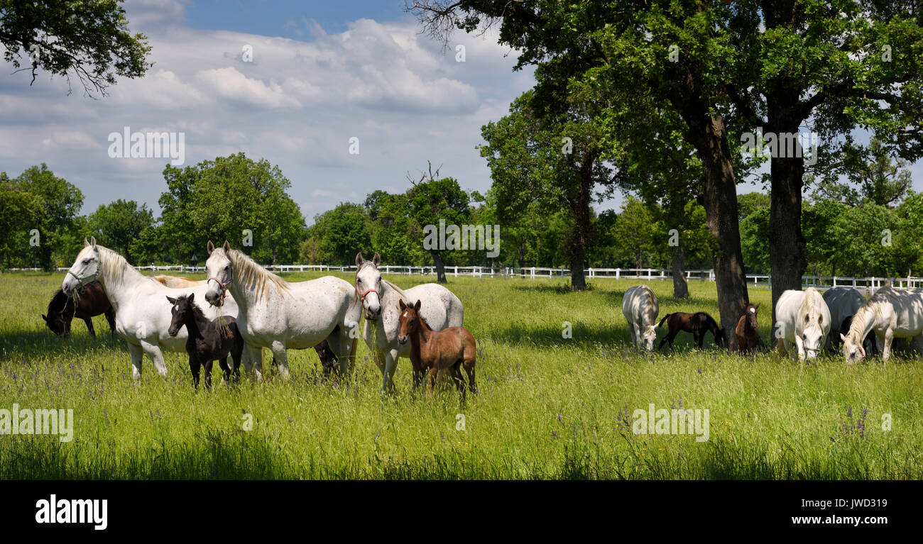Panorama of white Lipizzaner mare horses with dark foals grazing in a meadow with grass and flowers at the Lipica Stud Farm at Lipica Sezana Slovenia - Stock Image