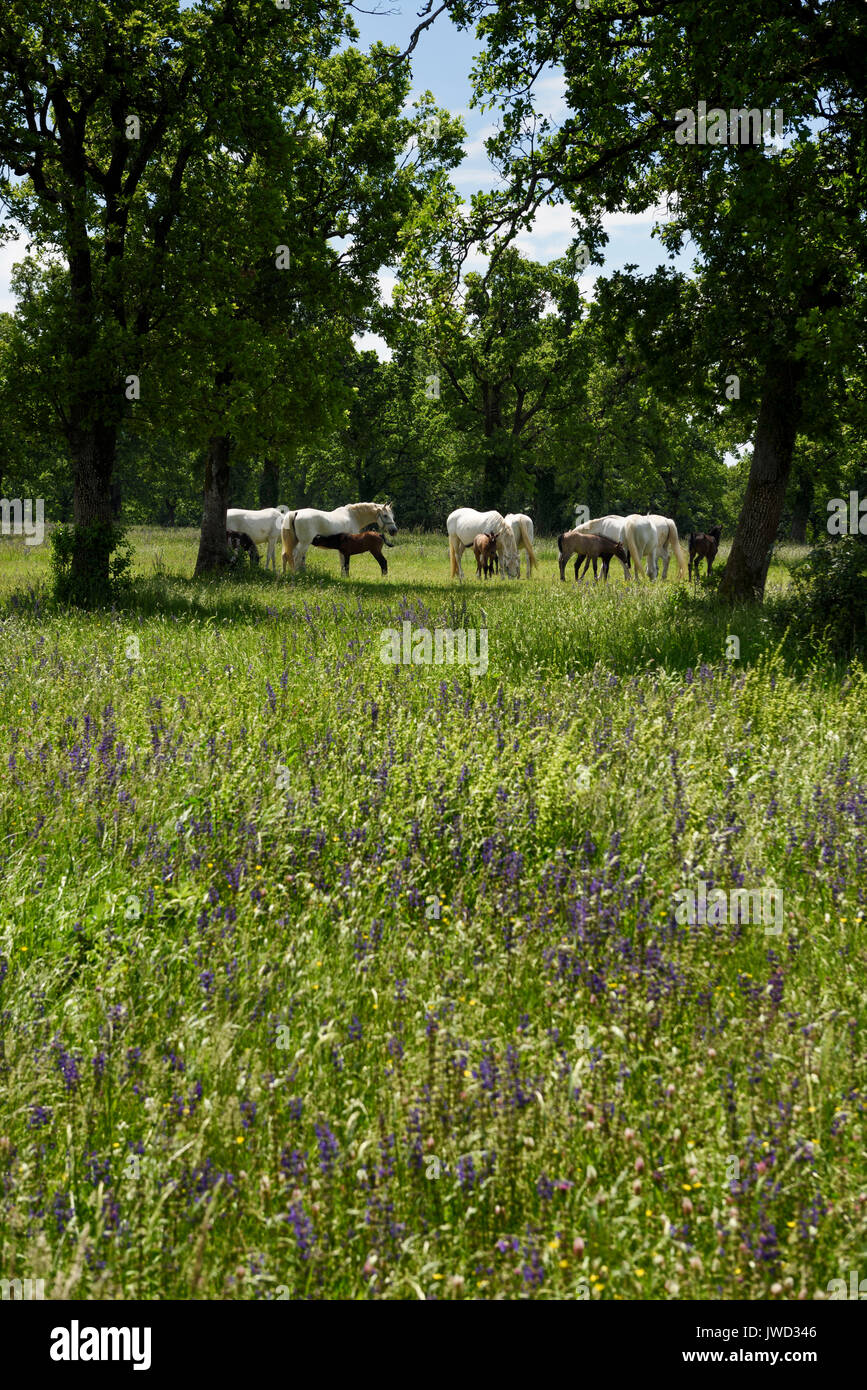 White Lipizzaner mares nursing dark foals while grazing in a flowery meadow at the Lipica Stud Farm at Lipica Sezana Slovenia - Stock Image