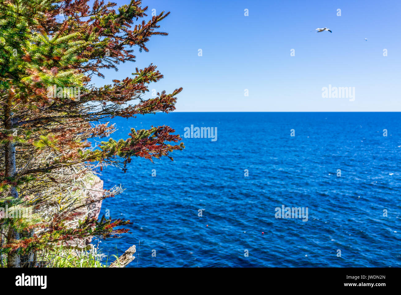 Overlook of ocean on trail in Bonaventure Island, Quebec, Canada by Perce in Gaspesie, Gaspea area with gannet bird flying and red pine tree - Stock Image